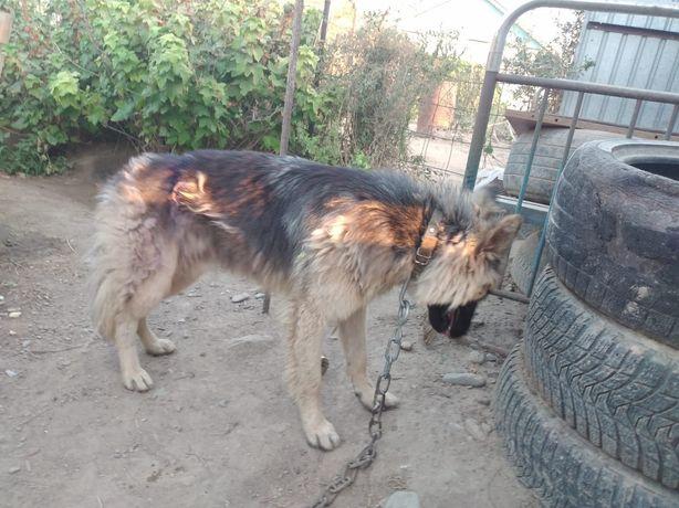 Собака Овчарка в ответственные руки