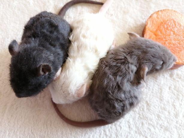 Крысята дамбо рекс
