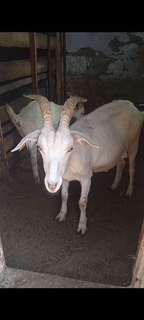 Коза молочная с козочкой