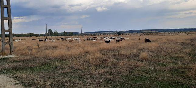 De vanzare capre