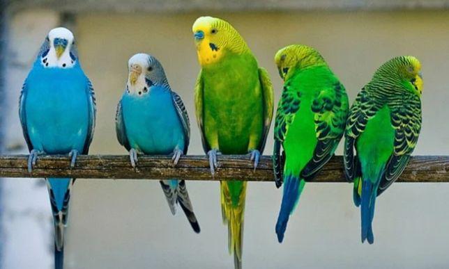 Большое поступление волнистых попугаев