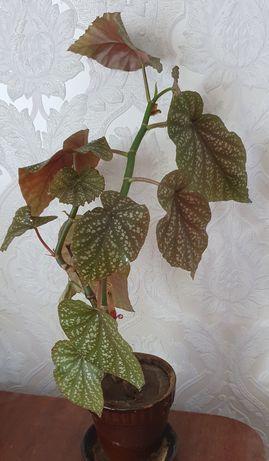 Бегония комнатное растение в керамическом горшке