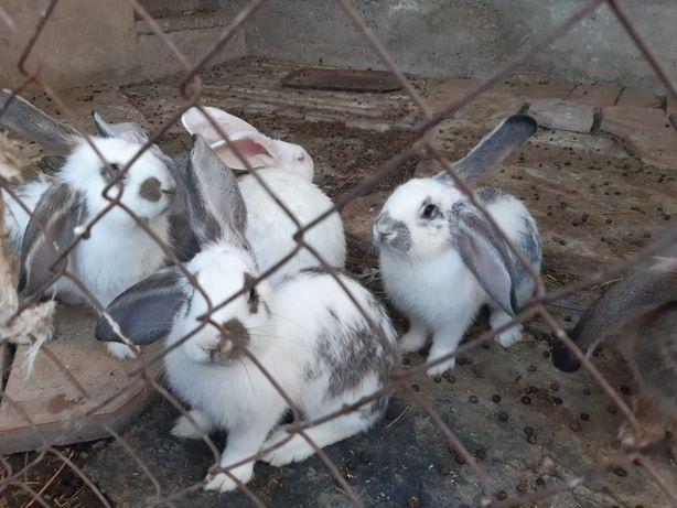 Продам кролики великана