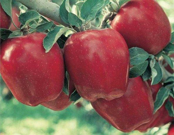 Яблоки по низкой цене