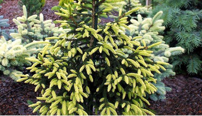 Molid Picea orientalis 'Aureospicata'