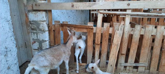 Продается альпийский коза с козликом