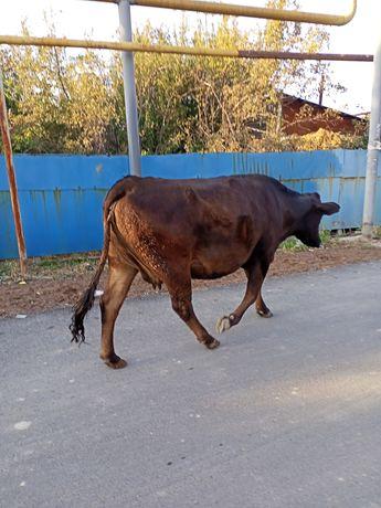 Продам корову 550000тг