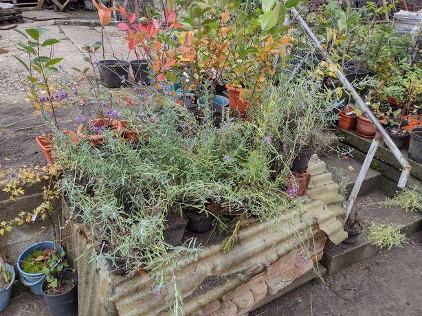 Plante la ghiveci: Lavanda, Ginko Biloba, Afin Siberian, Lamai
