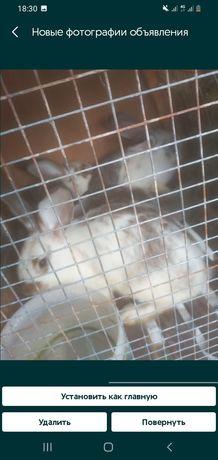 Продам вилакан кролик