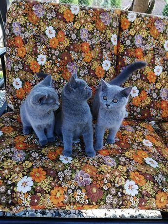Vând pui pisică british shorthair