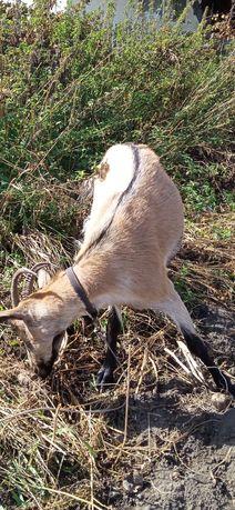 Альпийская коза один год