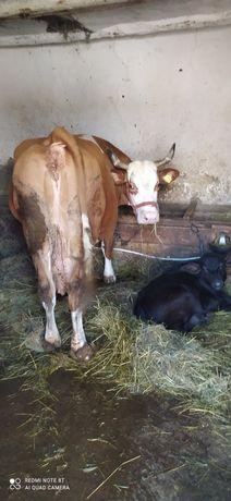 Vând vacă de ținu sau de tăiat