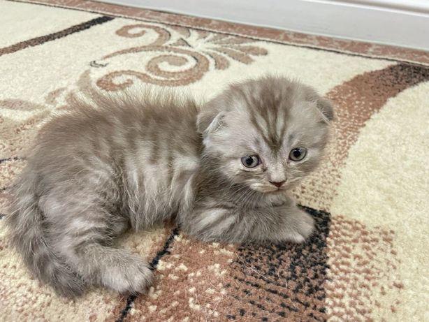 Котенок мальчик скоттиш фолд