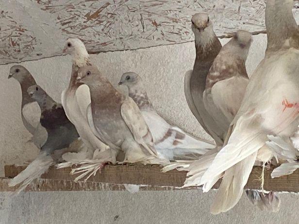 Продается голуби
