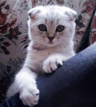 Шотландская скоттиш-фолд котенок девочка с окрасом серебристый табби в