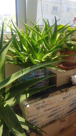 Aloe vera - plante mici