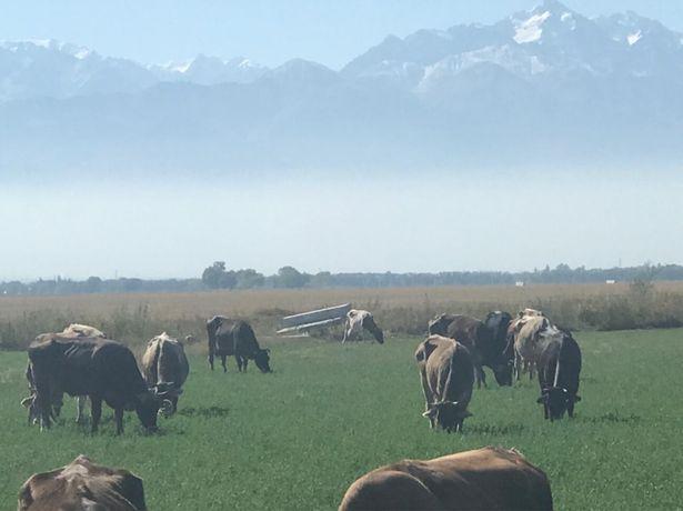 Продаются коровы вместе с телятами , Сиыр сатылады бузауларымен