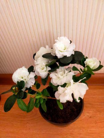 Азалии белые цветущие