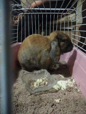 Вислоухий кролик с клеткой