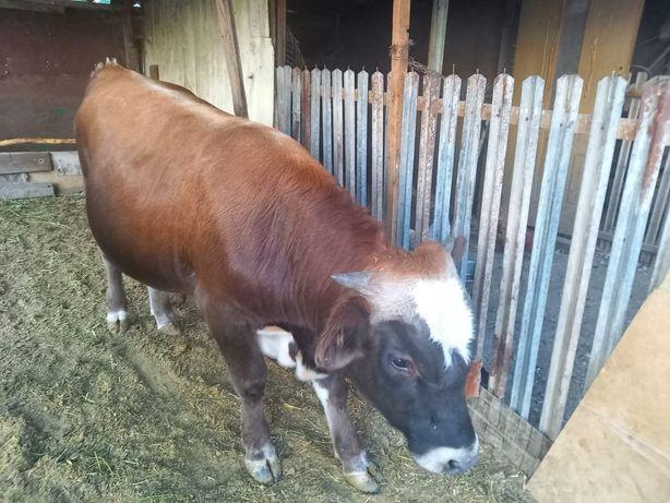 Бука бык бычки  быки