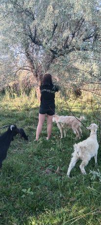 Зааненские козы три головы