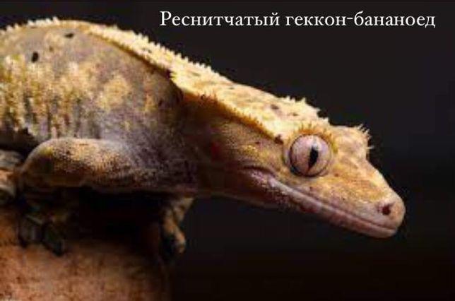 """Ресничный геккон-бананоед в зоомагазине """"ЖИВОЙ МИР"""""""