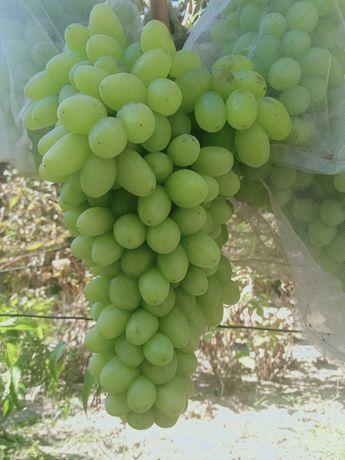 Виноград, саженцы, сорт Столетие
